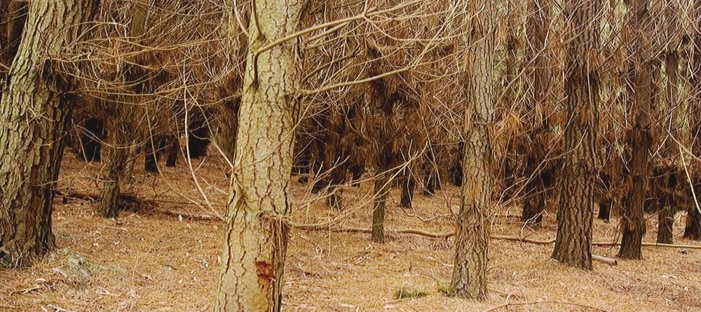 Leonie Ryan, 'Pine Plantation (origin of logs for 'Fir')'