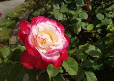 SPECIAL EVENT: International Rose Garden Festival Morwell